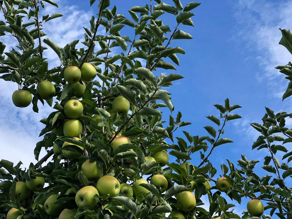 An apple tree in Massachusetts.